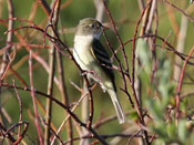 Alder Flycatcher - photo by Phil Swanson