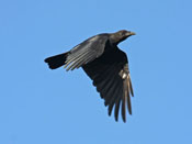 American Crow - photo by Phil Swanson