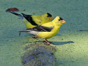 American Goldfinch - photo by Phil Swanson