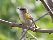 female American Redstart - photo by Phil Swanson