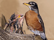 American Robin nestlings - photo by Phil Swanson