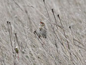 Baird's Sparrow - photo by Phil Swanson