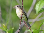 Bell's Vireo - photo by Phil Swanson