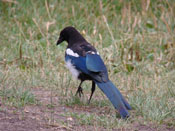 Black-billed Magpie - photo by Matt Sittel