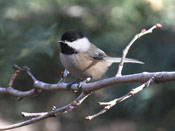 Black-capped Chickadee - photo by Phil Swanson