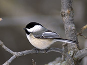 Black-capped Chickadee - NEBRASKAland Magazine/Nebraska Game and Parks Commission