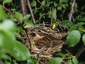 nesting Black-headed Grosbeak - NEBRASKAland Magazine/Nebraska Game and Parks Commission