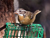 juvenile Black-headed Grosbeak - photo by Phil Swanson