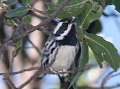 Black-throated Gray Warbler - photo by Phil Swanson