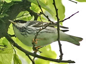 Blackpoll Warbler - photo by Phil Swanson
