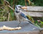 Blue Jay - photo by Matt Sittel
