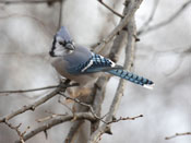 Blue Jay - photo by Phil Swanson