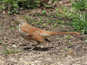 Brown Thrasher - photo by Phil Swanson