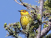 Cape May Warbler - photo by Phil Swanson