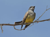 Cassin's Kingbird - photo by Phil Swanson