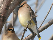 Cedar Waxwing - photo by Phil Swanson