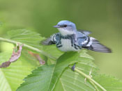 Cerulean Warbler - photo by Phil Swanson