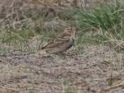 female Chestnut-collared Longspur - photo by Phil Swanson