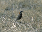 Chestnut-collared Longspur - NEBRASKAland Magazine/Nebraska Game and Parks Commission