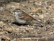 Chipping Sparrow - photo by Phil Swanson