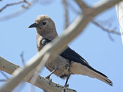 Clark's Nutcracker - photo by Phil Swanson