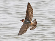 Cliff Swallow - photo by Phil Swanson