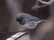 slate colored Dark-eyed Junco - NEBRASKAland Magazine/Nebraska Game and Parks Commission