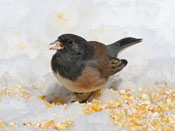 oregon varient Dark-eyed Junco - photo by Phil Swanson