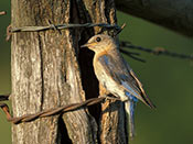 female Eastern Bluebird - NEBRASKAland Magazine/Nebraska Game and Parks Commission