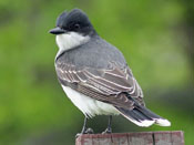 Eastern Kingbird - photo by Phil Swanson