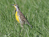Eastern Meadowlark - photo by Phil Swanson