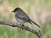 Eastern Phoebe - photo by Phil Swanson