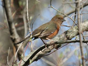 female Eastern Towhee - photo by Phil Swanson