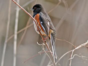 male Eastern Towhee - photo by Phil Swanson