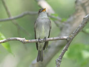 Eastern Wood-Pewee - photo by Phil Swanson