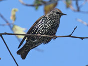 fall European Starling - photo by Phil Swanson