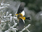 male Evening Grosbeak - photo by Phil Swanson