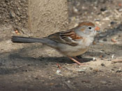 Field Sparrow - photo by Phil Swanson