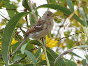 Field Sparrow - photo by Rachel Hall