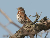 Fox Sparrow - photo by Phil Swanson