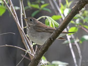 Gray-cheeked Thrush - photo by Phil Swanson