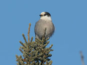 Gray Jay - photo by Phil Swanson