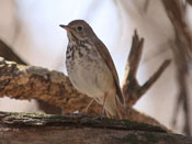 Hermit Thrush - photo by Phil Swanson
