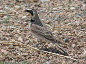 Horned Lark - photo by Phil Swanson