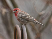 male House Finch - photo by Phil Swanson