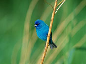 Indigo Bunting - NEBRASKAland Magazine/Nebraska Game and Parks Commission