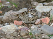 Lincoln's Sparrow - photo by Phil Swanson