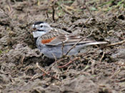 McCown's Longspur - photo by Phil Swanson