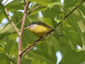 Nashville Warbler - photo by Phil Swanson