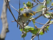 Northern Parula - photo by Phil Swanson